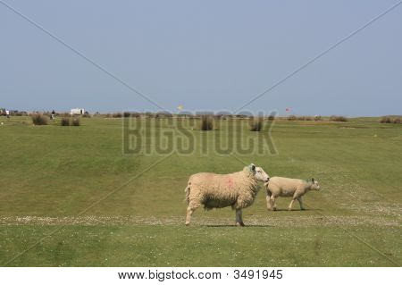Two Sheep On A Golf Links