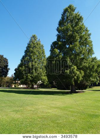 Large Evergreen Trees