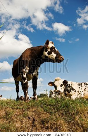 Recumbant Cow And Friend