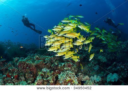 Divers And  School Of Blue Striped Snappers, Maldives