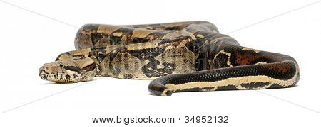 Common Northern Boa, Boa constrictor imperator, imperator is the color, against white background