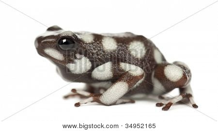 Mara?�?�±??n Poison Frog or Rana Venenosa, Ranitomeya mysteriosus, against white background