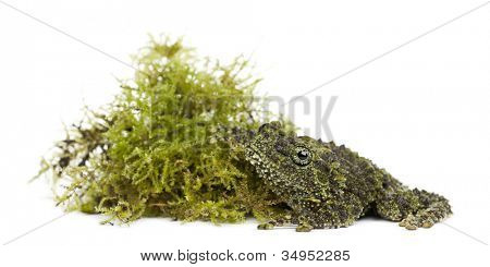 Mossy Frog next to Moss, Theloderma corticale, also known as a Vietnamese Mossy Frog, or Tonkin Bug-eyed Frog, portrait against white background
