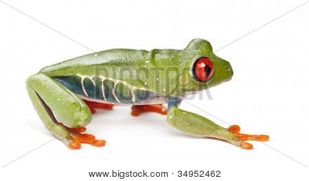 Red-eyed Treefrog, Agalychnis callidryas, against white background