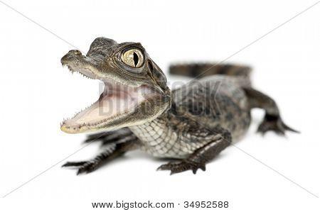 Jacaré, Caiman crocodilus, conhecido também como um o jacaré branco ou comum Caiman, ol de 2 meses
