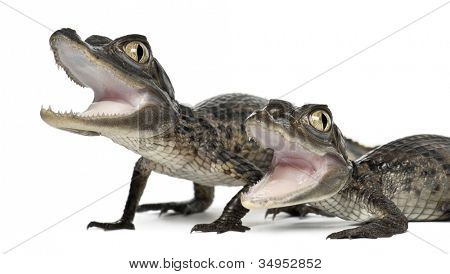 Pardela jacarés, Caiman crocodilus, conhecidos também como um o jacaré branco ou jacaré comum, o de 2 meses