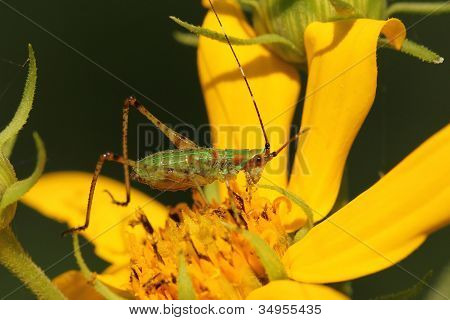 Katydid on a Woodland Sunflower