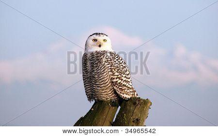 Snowy Owl & Mount Baker
