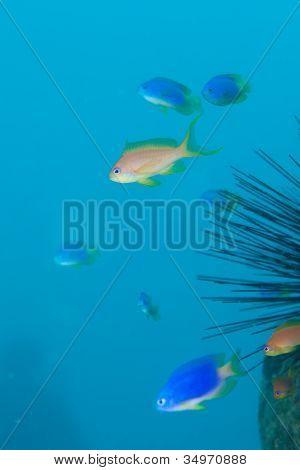 Sea goldy
