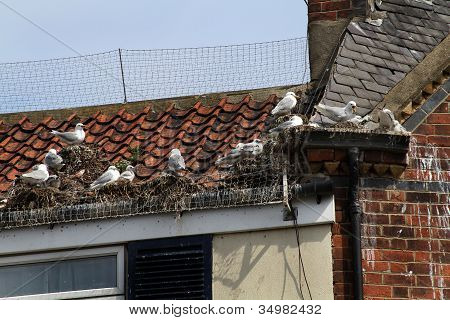 Seagulls nesting on roof.