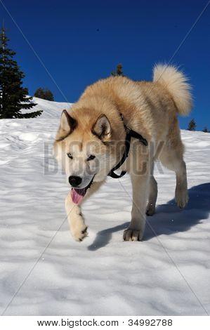 Akita And Husky Dog Mix
