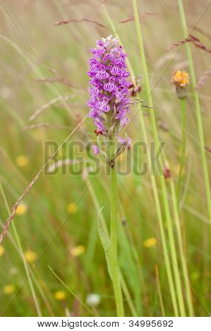 Spotted-orchid (Dactylorhiza maculata)