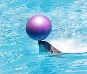 picture of bottlenose dolphin  - bottlenose dolphin playing with ball in water - JPG