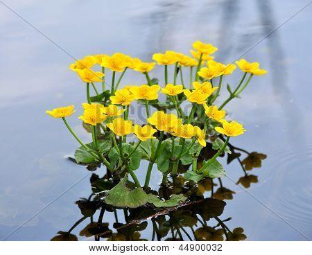 Kingcup Or Marsh Marigold (caltha Palustris)