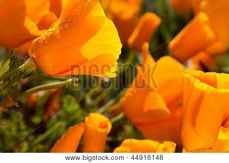 Bunches of California Poppies