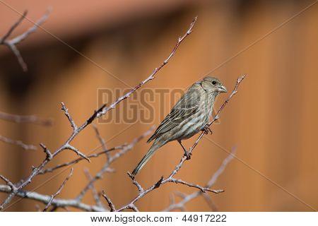Female House Finch (carpodacus Mexicanus)