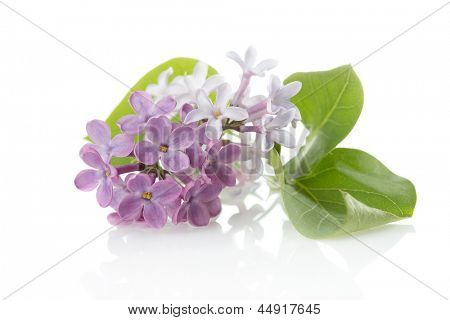 Blooming flower of purple lilac (Syringa vulgaris)