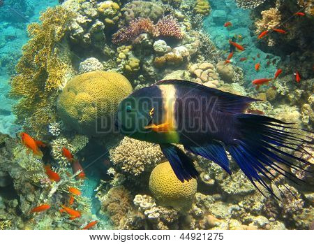 Male Of Broomtail Wrasse (cheilinus Lunulatus)