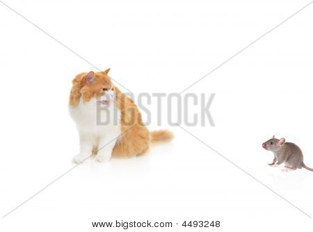 Gato assistindo um Mouse