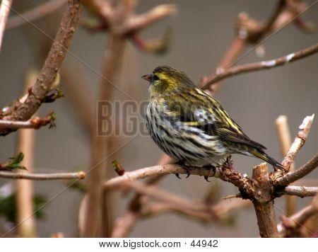 A Singing Bird.