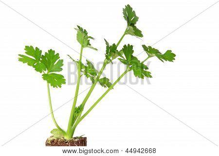 Seedling Of Celery