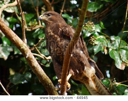 Hawk, Falcon, Sparrow-hawk