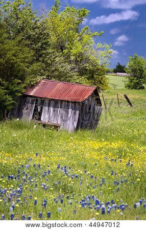 Abandoned Shed In Bluebonnet Field