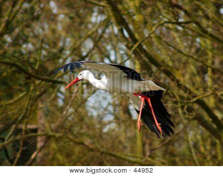 Stork In Flight.