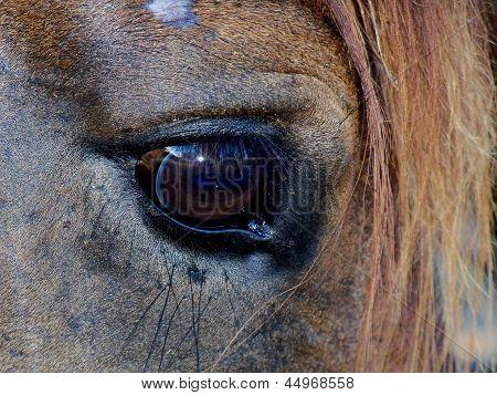 Horse Eye closeup view