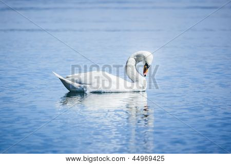 An image of a white swan at the lake Starnberg