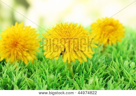 Dandelion flowers on grass on bright background