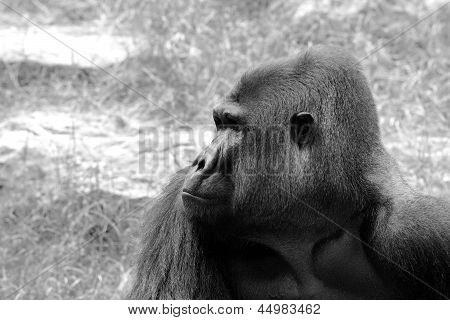 Gorilla's Male Portrait