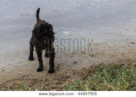 Black Shaggy Dog Lying At The Street, Cross Breed Between A Cocker Spaniel And A Poodle