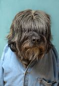pic of hirsutes  - Large hairy dog with a blue denim shirt on an aqua background - JPG