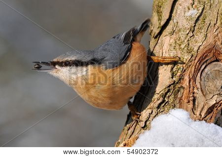 nuthatch with seed in bill