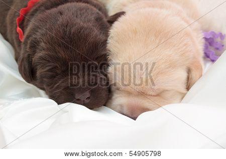 Two Labrador Retriever Puppies