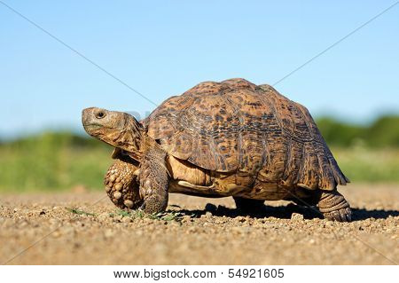 Leopard or mountain tortoise (Stigmochelys pardalis), South Africa