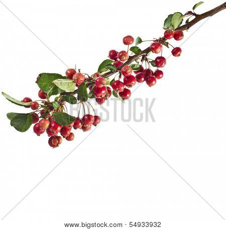 red apples on a branch. Isolated on a white background