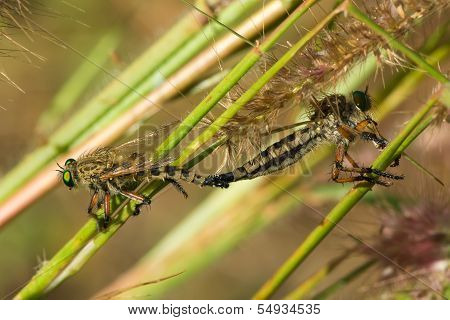 2 Robber Flies Joined For Mating