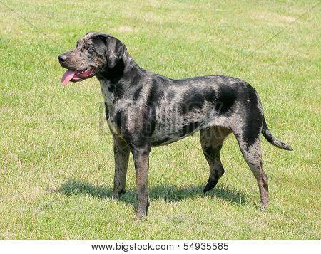 Typical Louisiana Catahoula Dog
