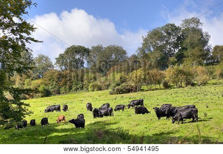 English Rural Scene With Cows