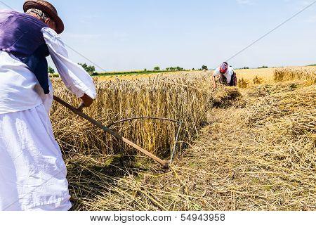 Farmer Cutting Wheat