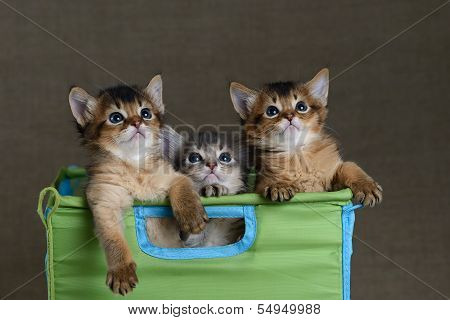 Three Cute Somali Kittens On A Grey Backround
