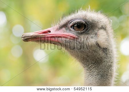 Ostrich Or Struthio Camelus