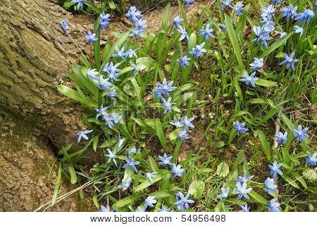 Spring blue flower near tree