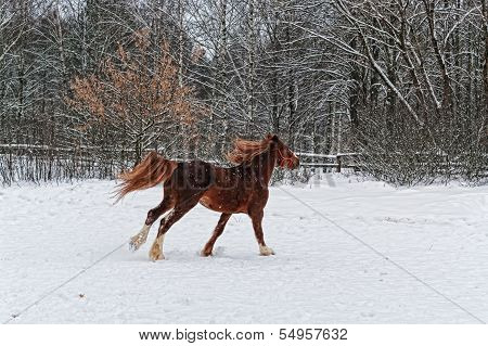Brown horse galloping on snow.