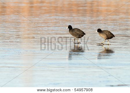 Two Birds On Ice