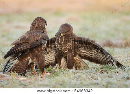 Common Buzzards