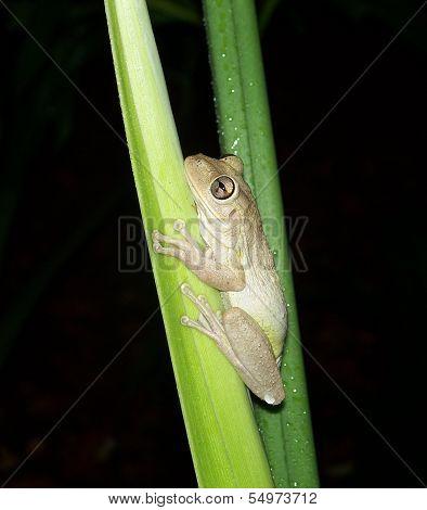 Frog - Rainforest Tree Frog