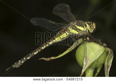 Aeshna mixta / migrant hawker Dragonfly close-up